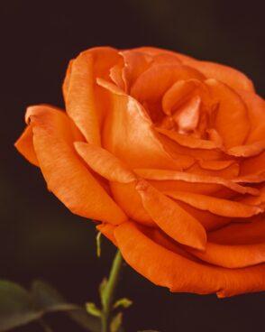 Rosenstrauß zusammenstellen: 1 orangene Rose