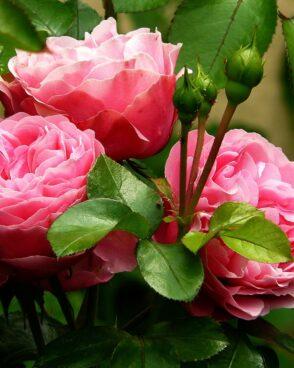 Rosenstrauß zusammenstellen: 1 rosa Rose