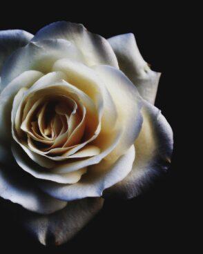 Rosenstrauß zusammenstellen: 1 weiße Rose